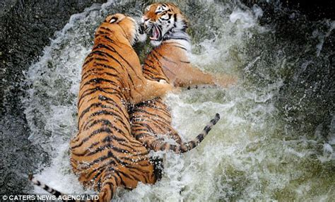 Now that's what you call a catfight! Tiger brothers try to