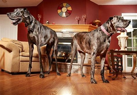 Video: Lizzy the Great Dane sets record as tallest dog on